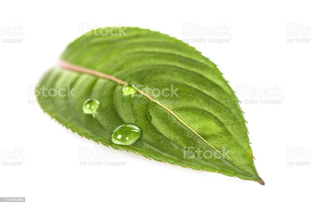 Water drop on green leaf royalty-free stock photo