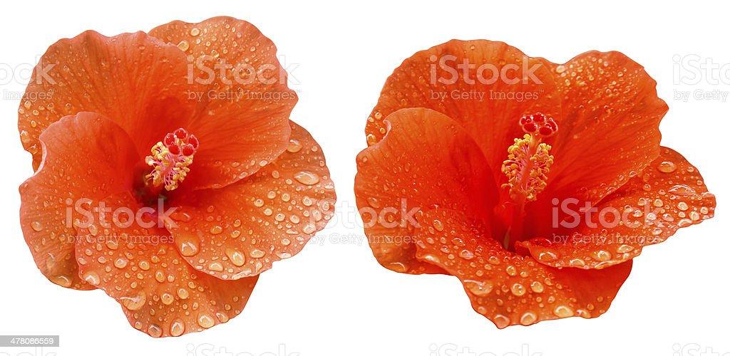 water drop on hibicus flower royalty-free stock photo