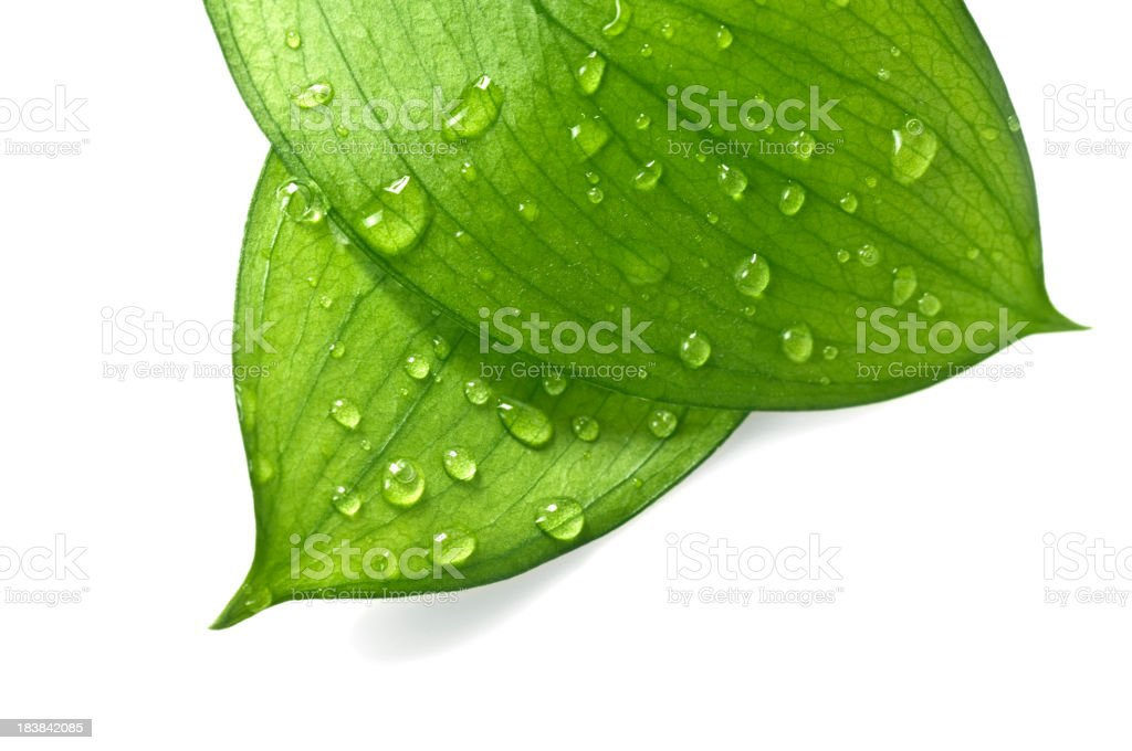 Water Drop on Leaves royalty-free stock photo