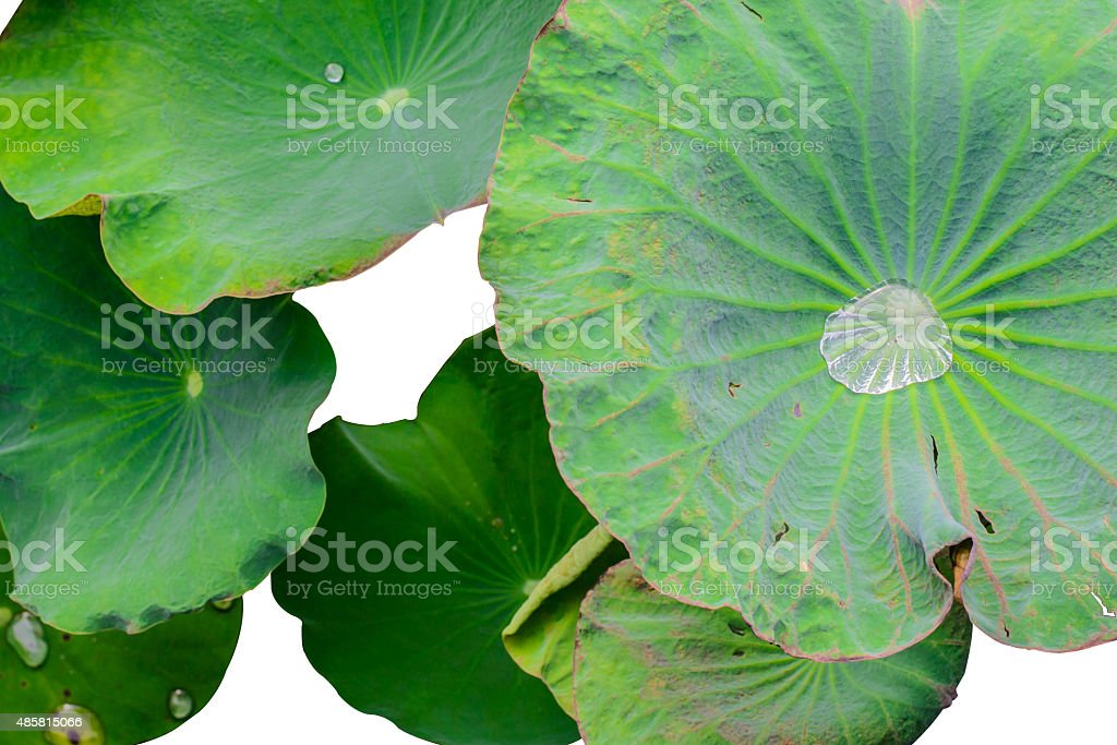 Water drop on lotus leaf on white background stock photo