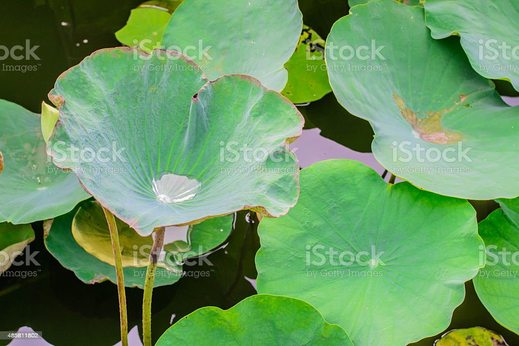 Water drop on lotus leaf stock photo