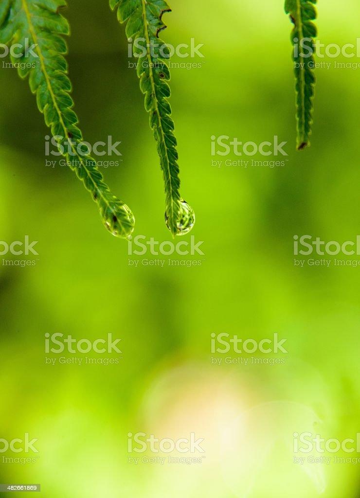 Water drop on New Zealand fern stock photo