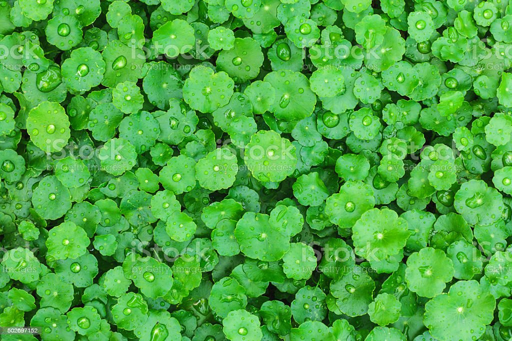Water drop on Water Pennywort stock photo