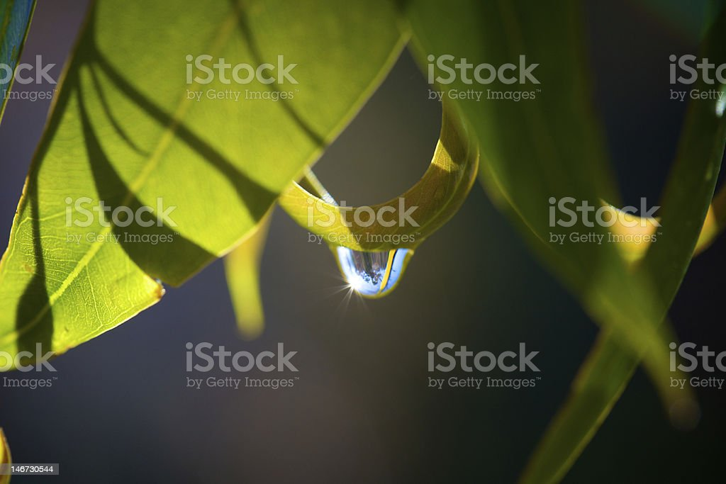 Water Droplet on Gum Leaf royalty-free stock photo