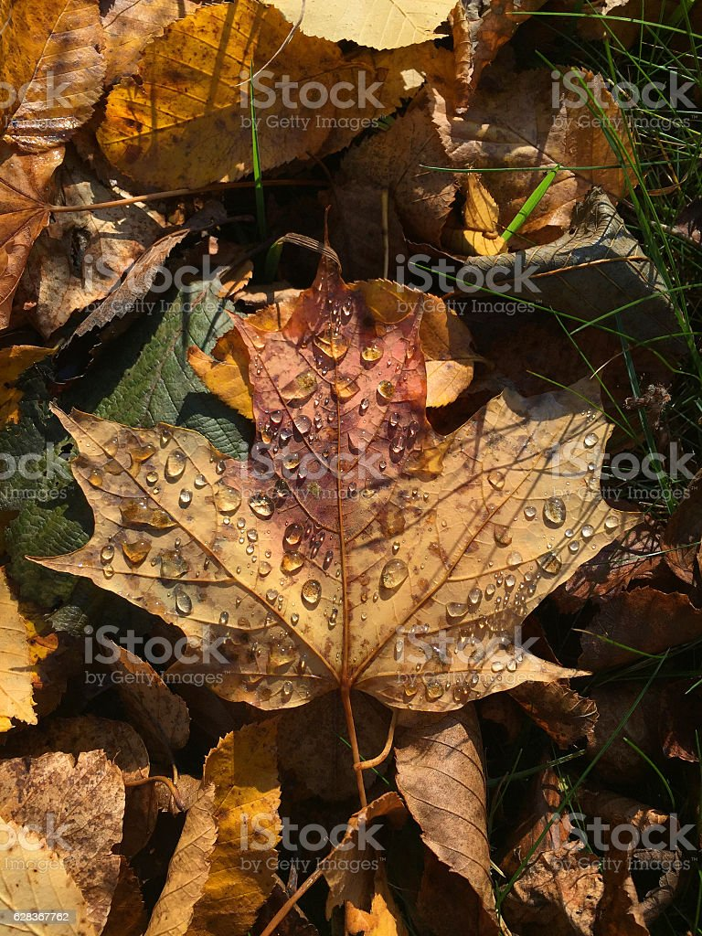 Water Droplets on a Fallen Leaf stock photo