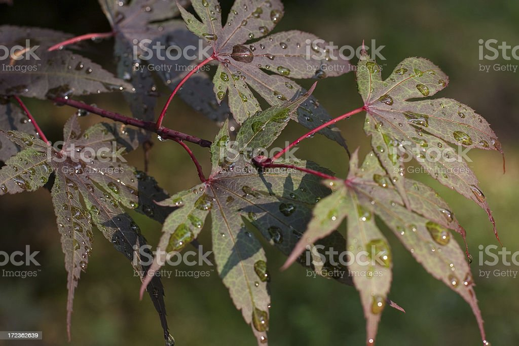 Water droplets on a Japanese Maple royalty-free stock photo