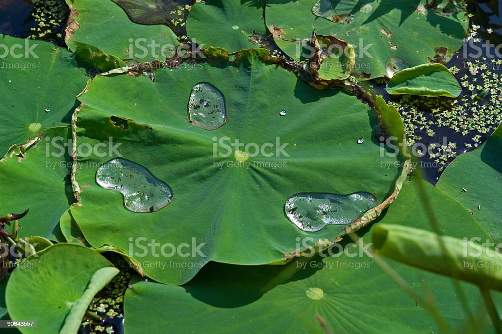 water droplets on a lilypad royalty-free stock photo