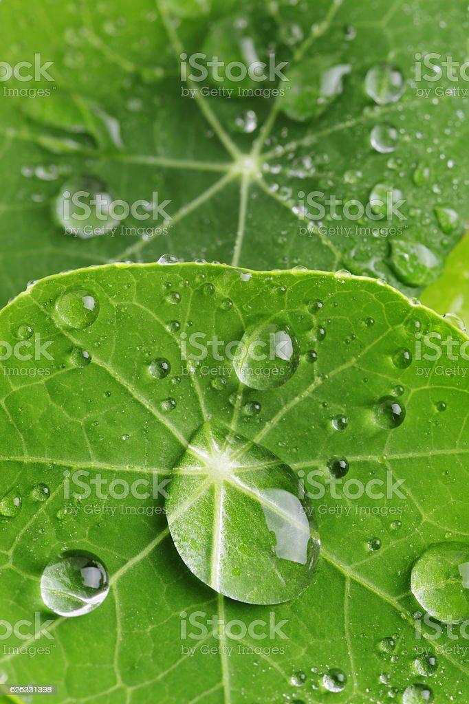 Water droplets on nasturtium leaf stock photo