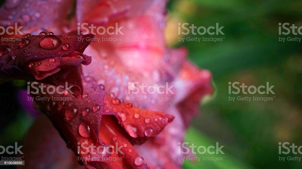 Water Droplets on Pink Gladiolus (Iridaceae) Petals stock photo