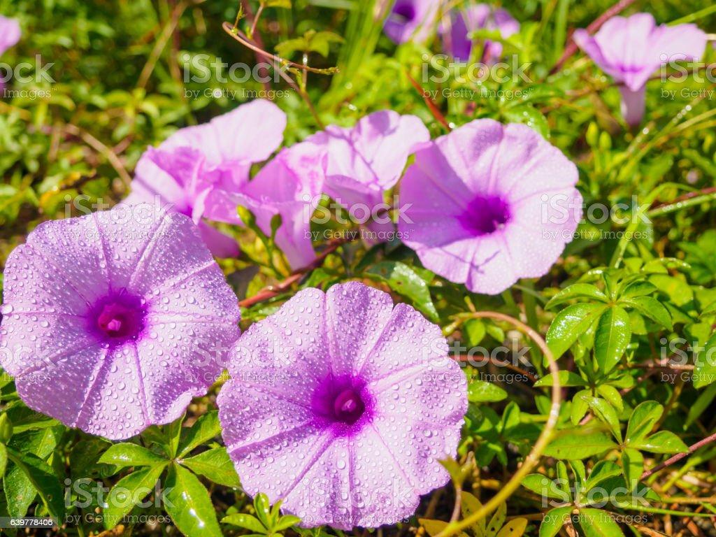 Water droplets on purple flower stock photo