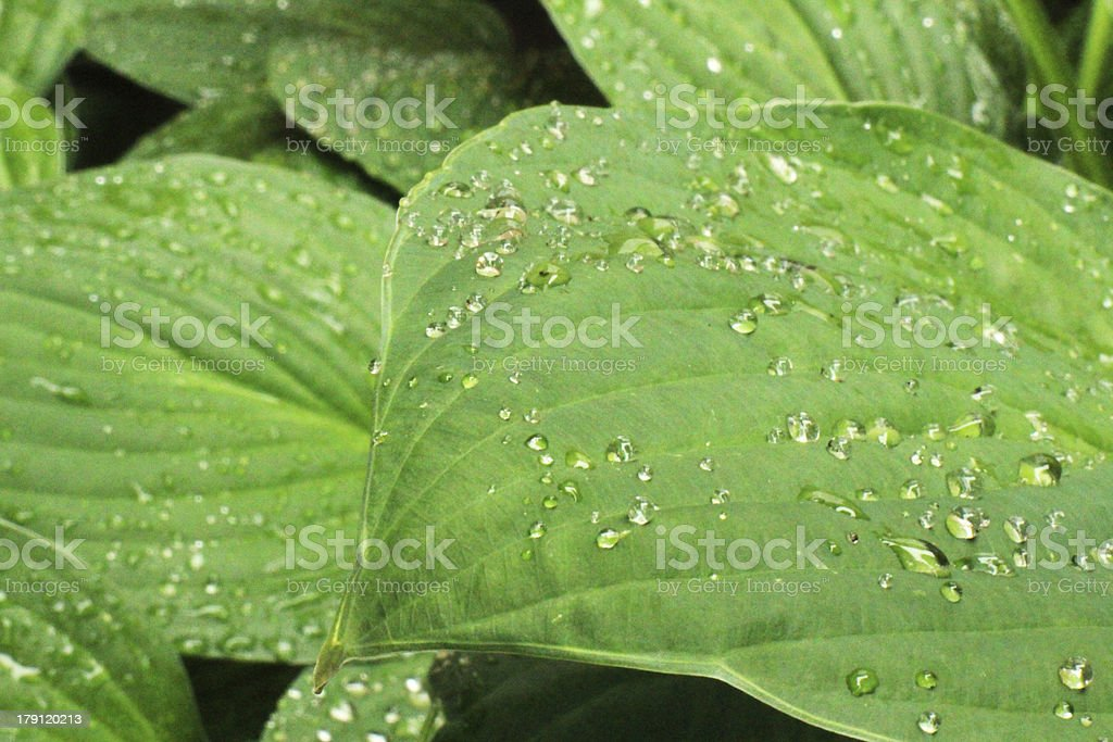 Water droplets on tropical leaves. royalty-free stock photo