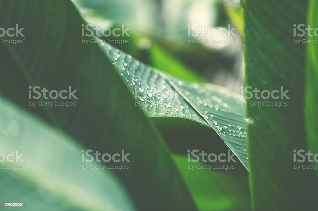 Water drops after rain on a banana leaf stock photo