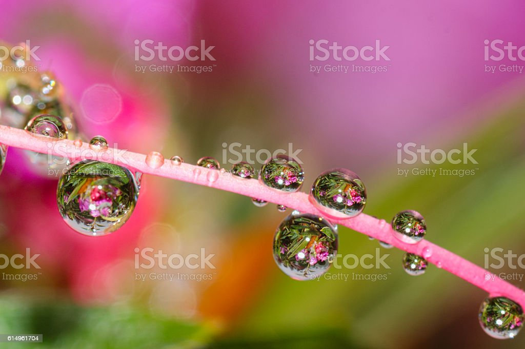 water drops and dew on pink flower petal background stock photo