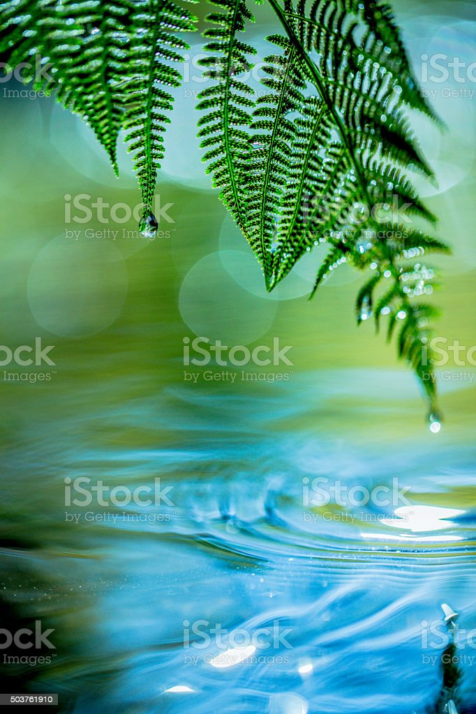 Water Drops Falling From a Fern Leaf into the Water stock photo