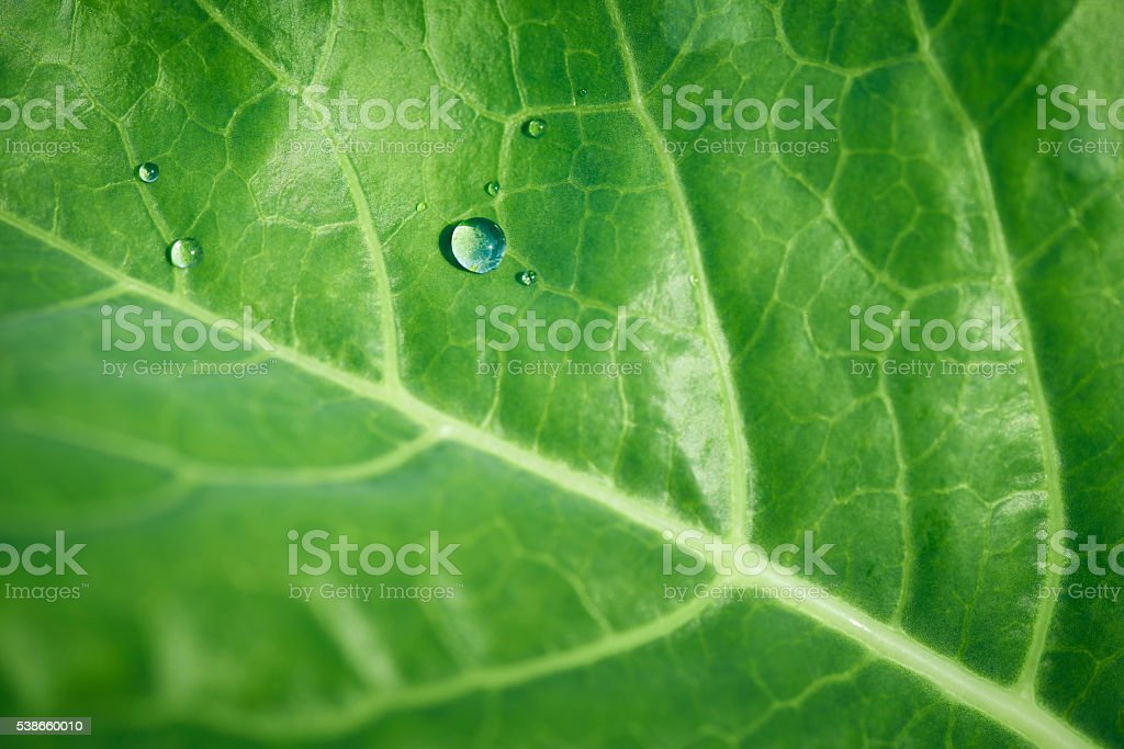 Water drops on a cabbage leaf stock photo
