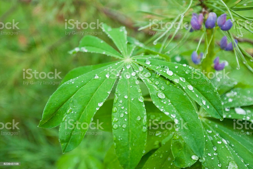 Water drops on a lupine leave. stock photo