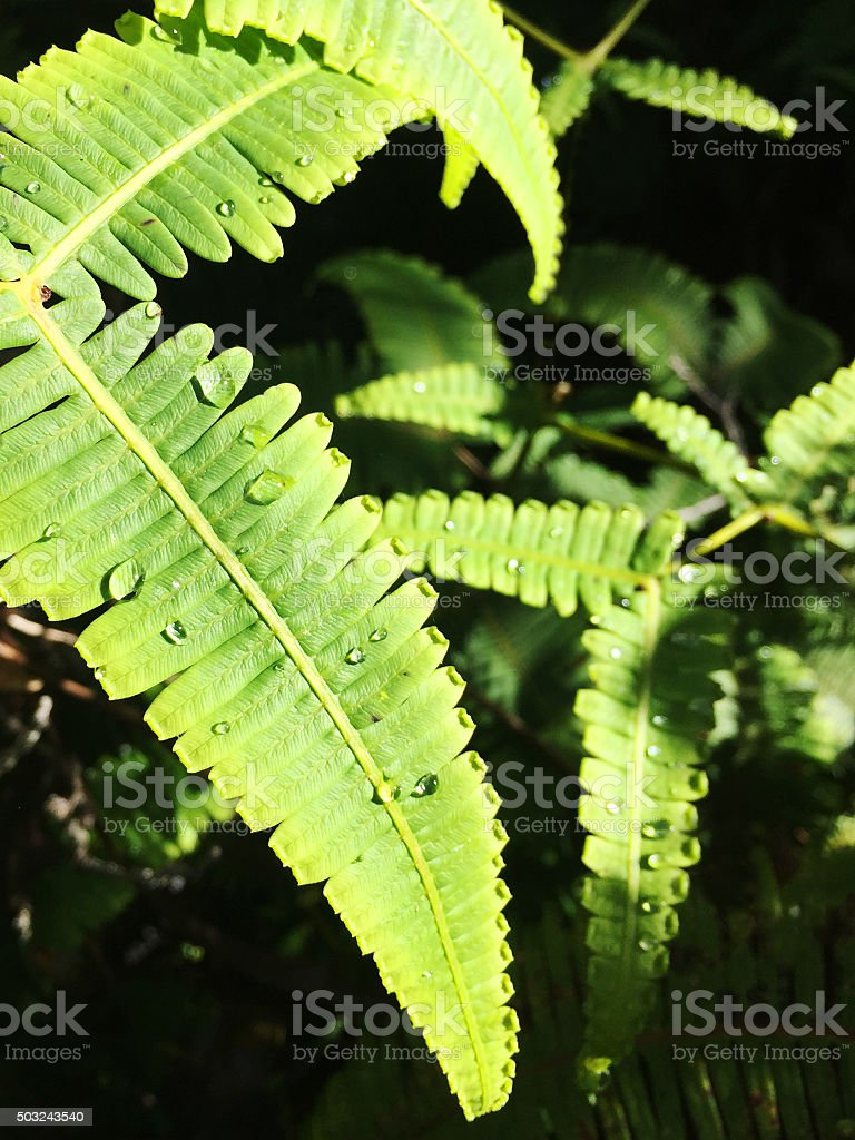 Water drops on ferns after rainfall at Kokee State Park stock photo