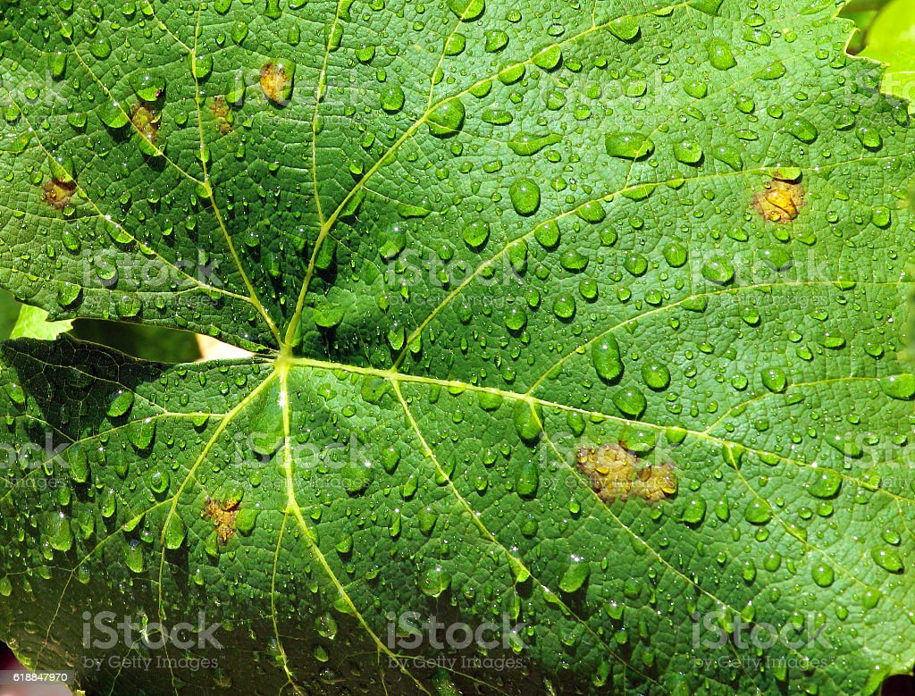 Water drops on green grapevine leaves stock photo