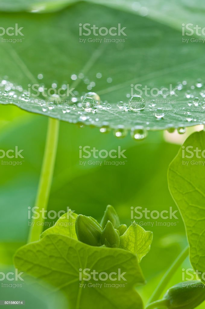 water drops on green leaf - like lotus effect stock photo