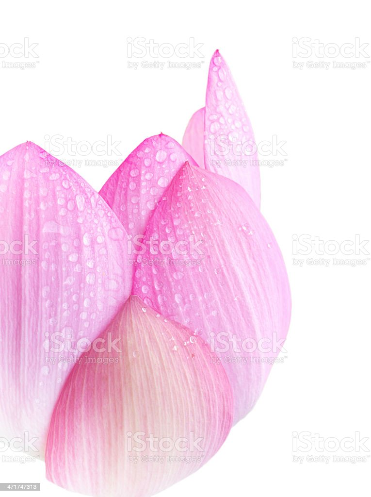 Water drops on lotus petal isolated royalty-free stock photo
