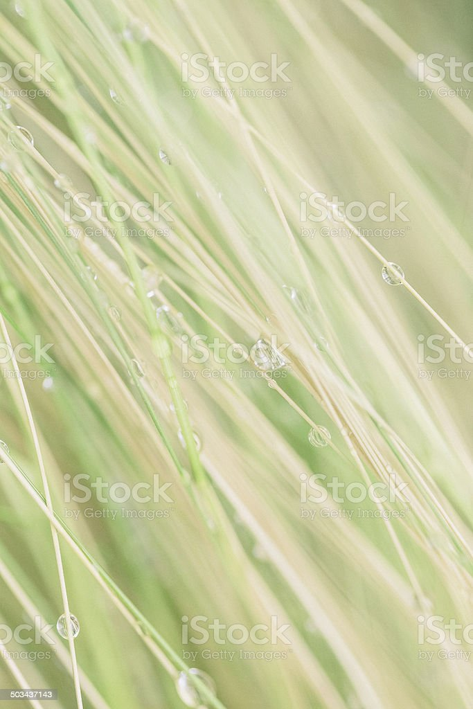 Water Drops on Ornamental Grass Abstract stock photo