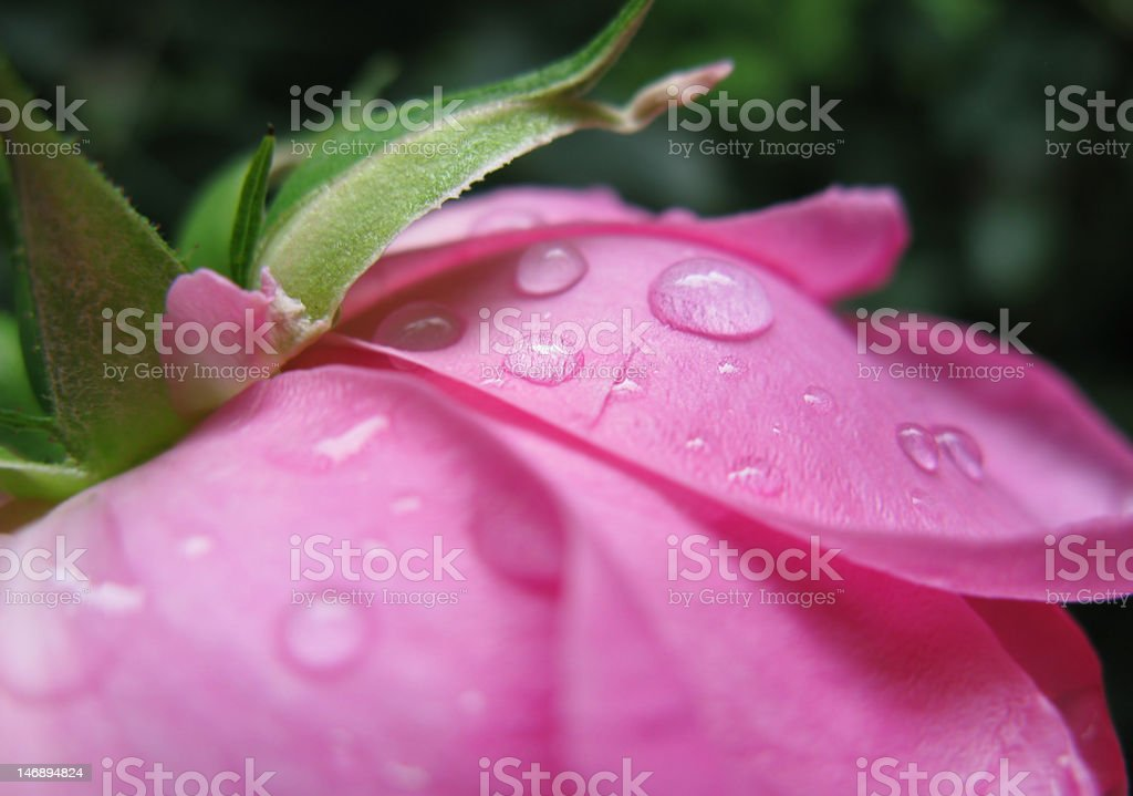 Water drops on Pink Rose royalty-free stock photo