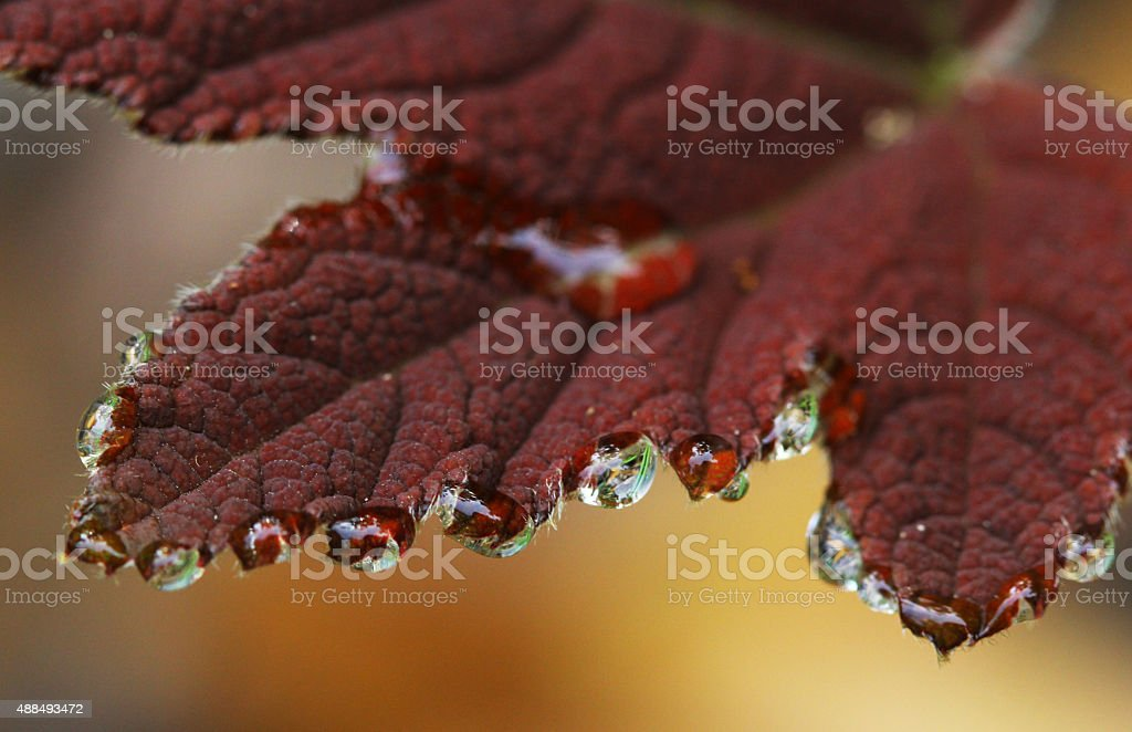 Water drops on purple leaf stock photo