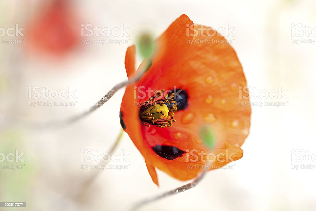 water drops on red poppy royalty-free stock photo