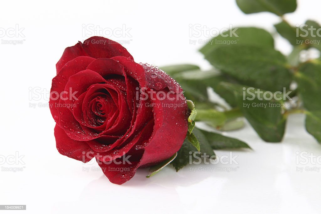 Water drops on red rose royalty-free stock photo
