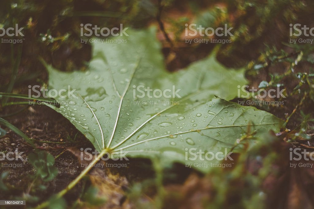 Water Drops On The Fresh Green Maple Leaf royalty-free stock photo
