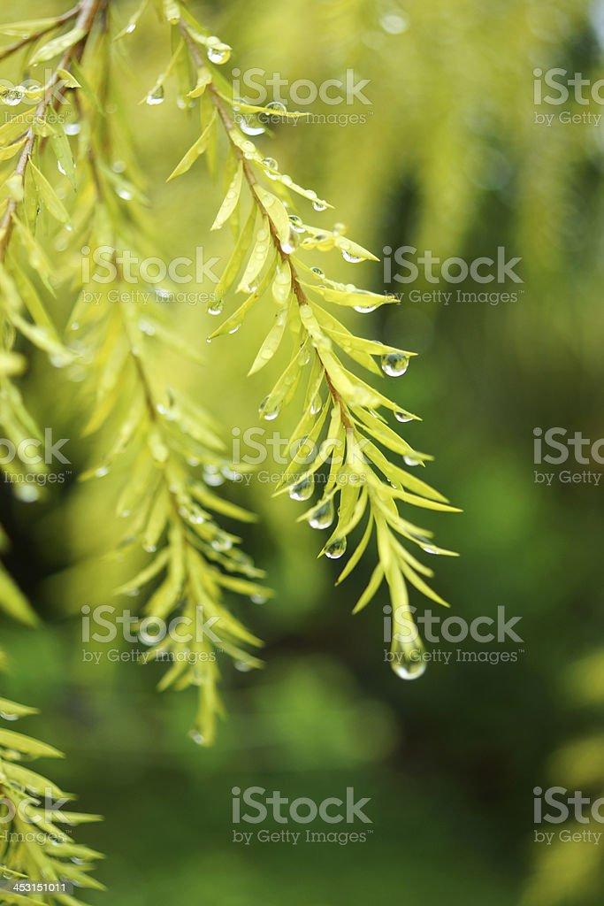 Water drops on the leaves of Melaleuca bracteata cv. Revolution stock photo