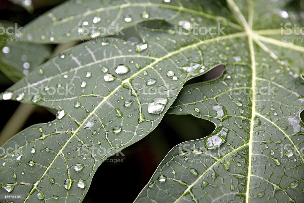Water drops on the leaves of papaya. royalty-free stock photo