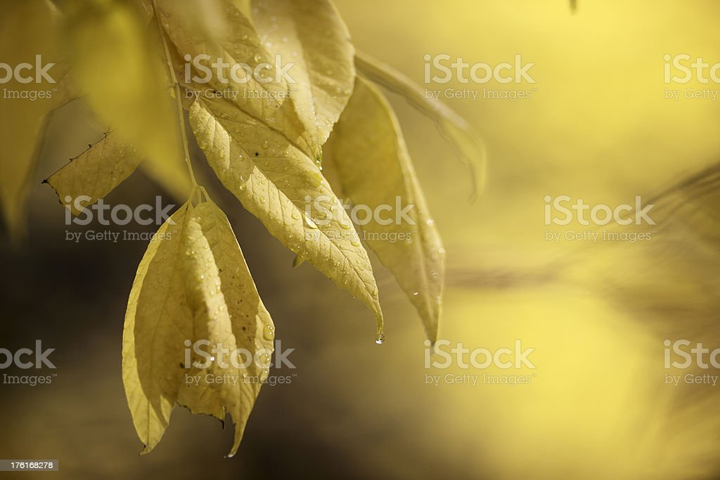 Water drops on yellow leaf. royalty-free stock photo