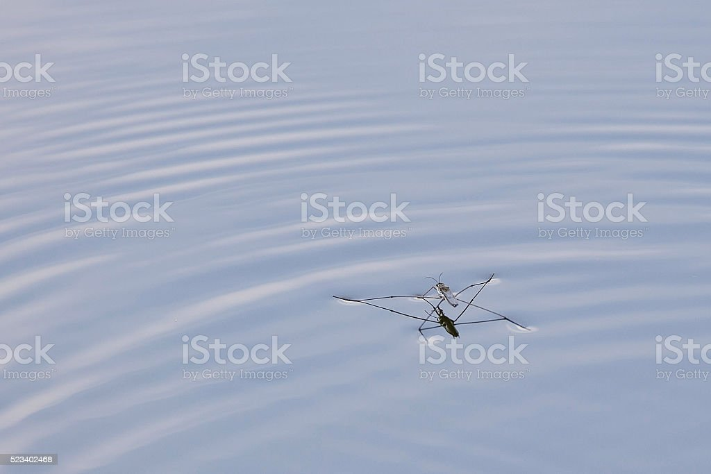 Water Flea stock photo