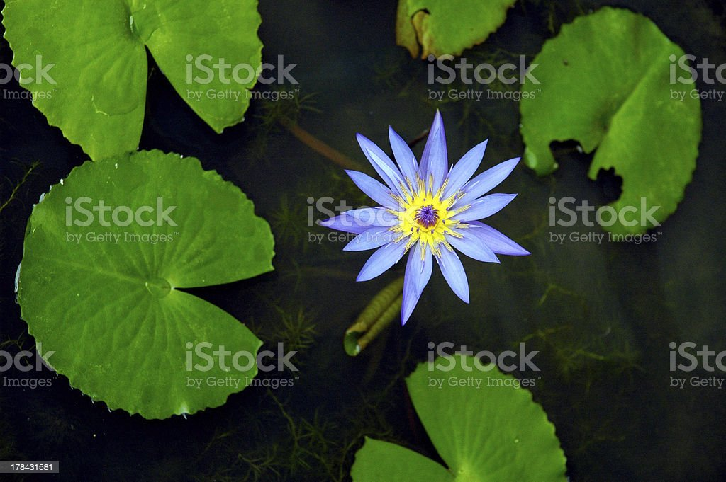 water flower royalty-free stock photo