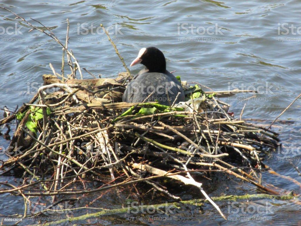 Poule d'eau couvant dans son nid de branchages stock photo