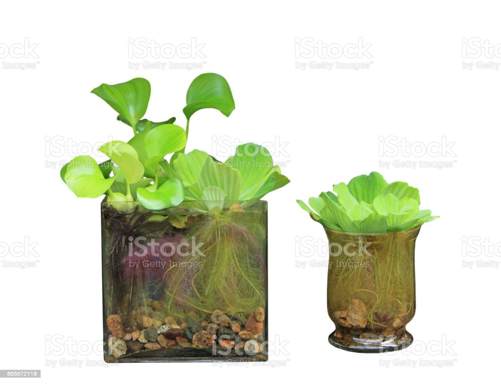 Water Hyacinth and water Cabbage stock photo