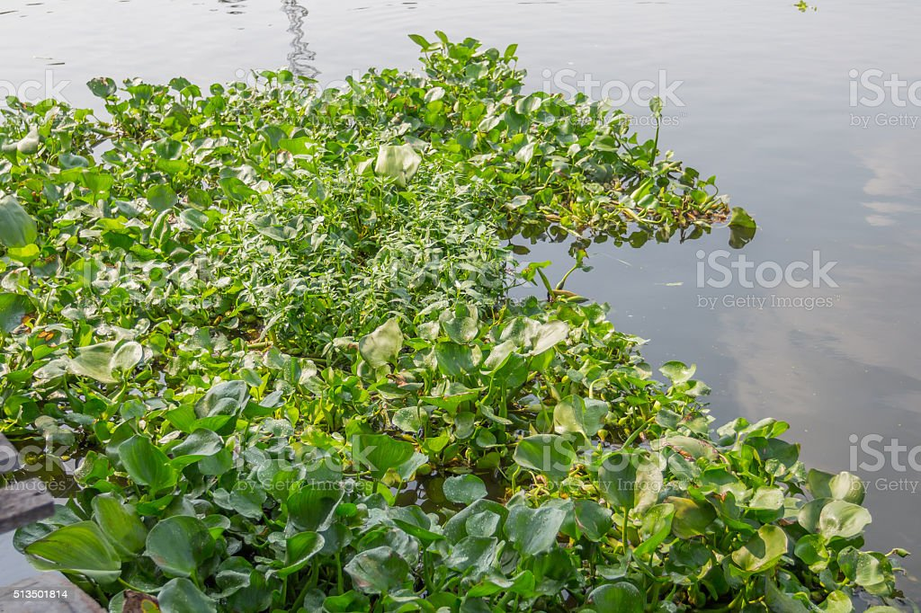 Water hyacinth floating in the river stock photo