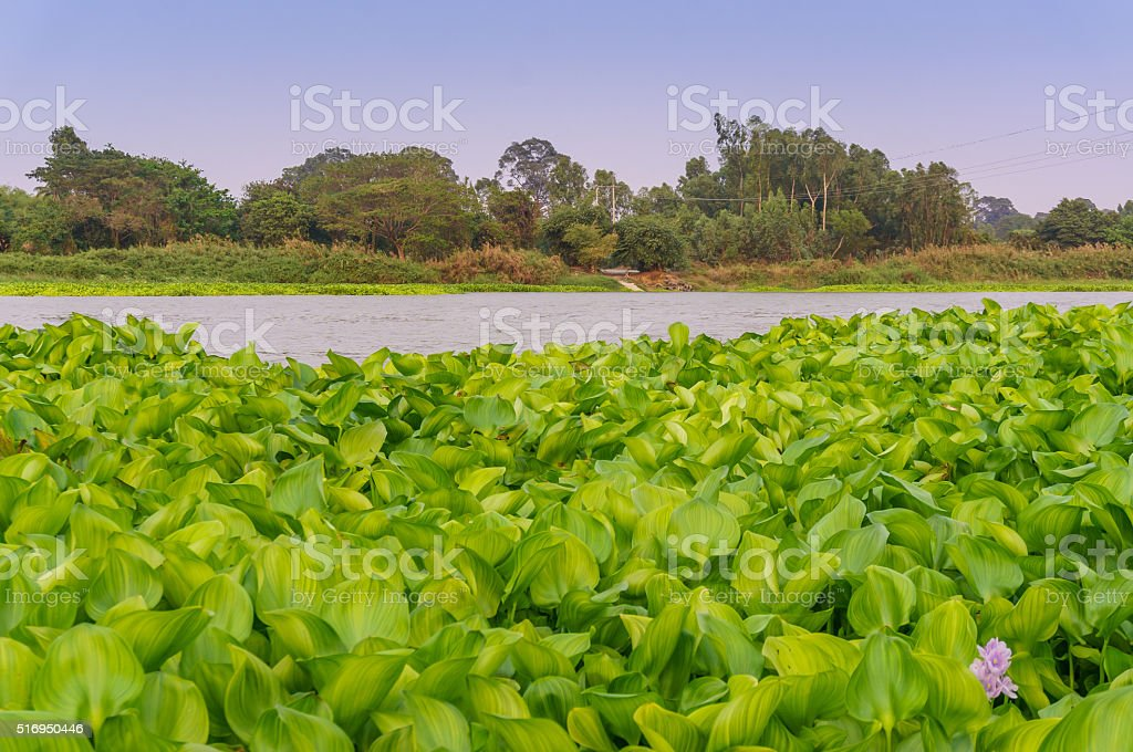 Water hyacinth flower in natural water stock photo