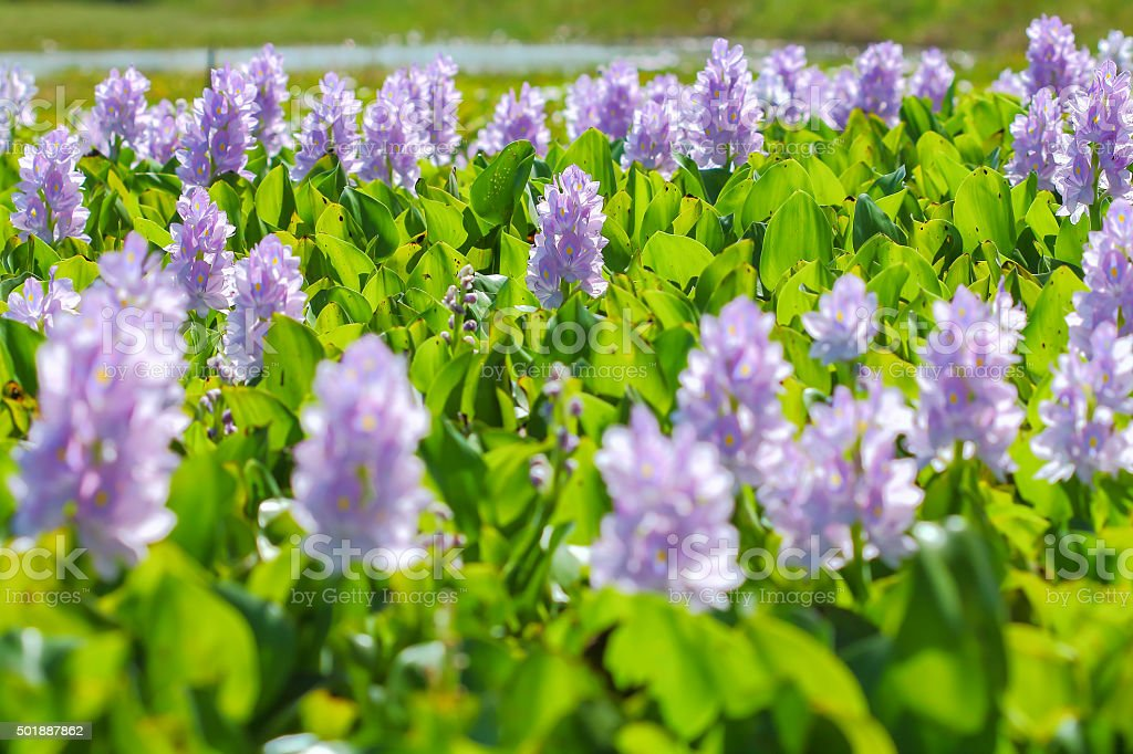 Water hyacinth flower in natural water sources stock photo