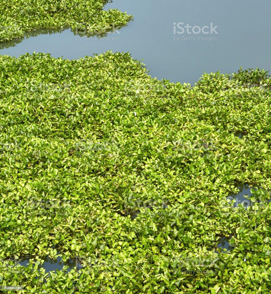 Water hyacinth green stock photo