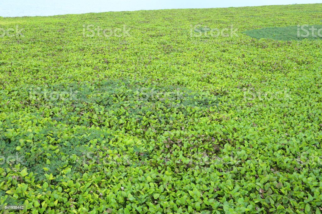 water hyacinth in Rayong Thailand stock photo