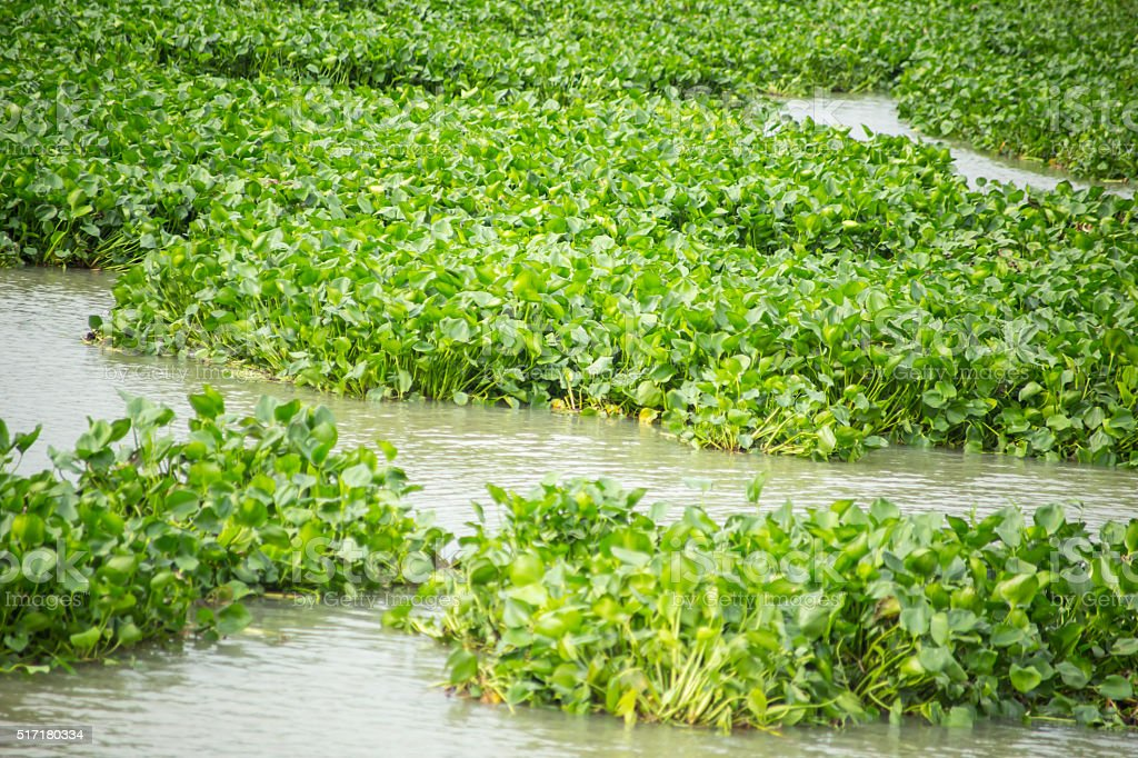 water hyacinth in river stock photo