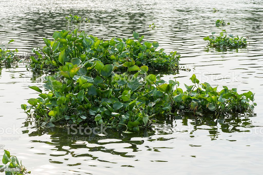 water hyacinth in the river stock photo