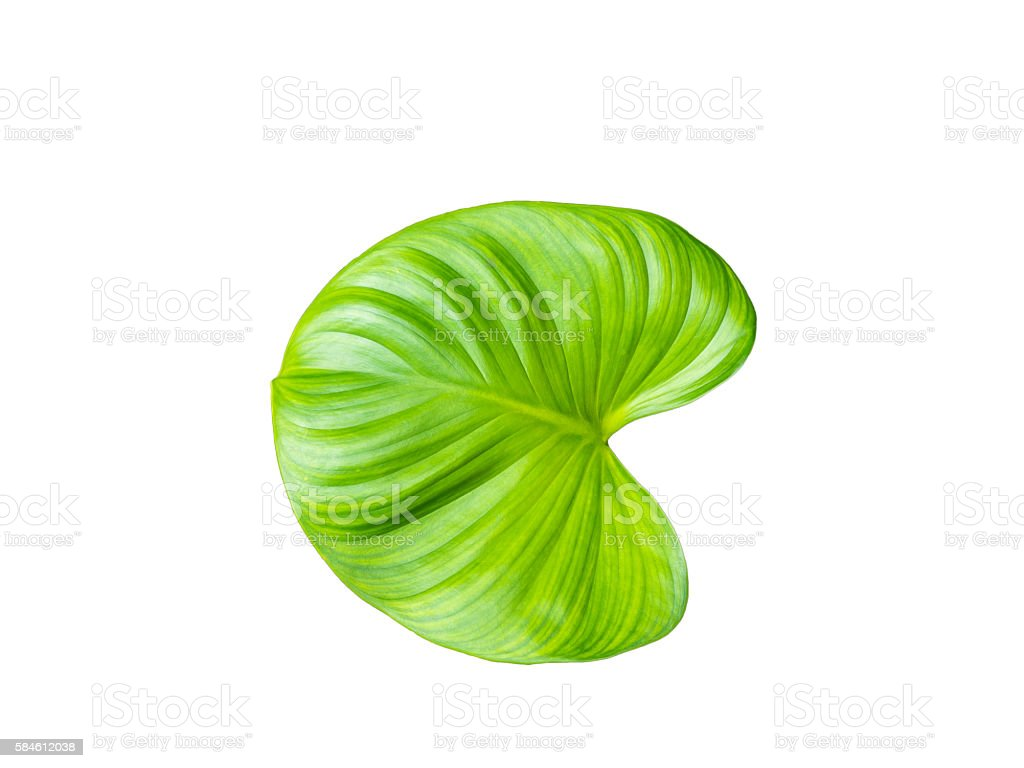 water hyacinth leaf stock photo