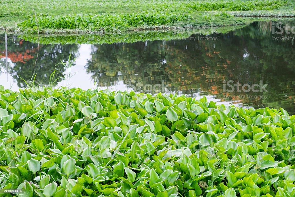 Water Hyacinth many green in river marsh creek stock photo