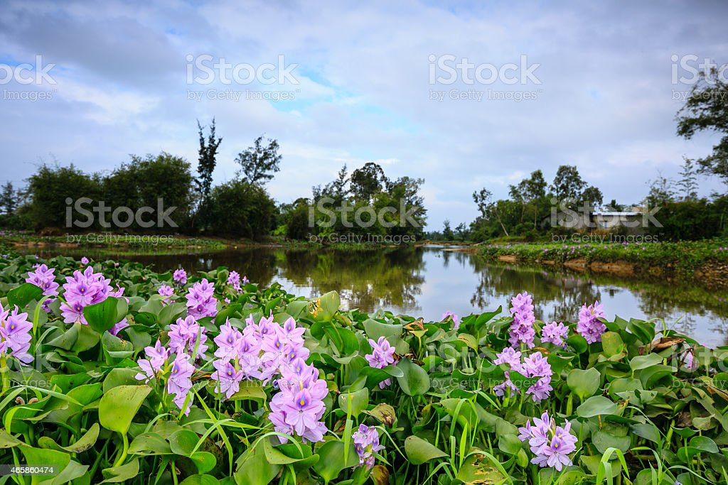 Water Hyacinth (Eichhornia crassipes) stock photo