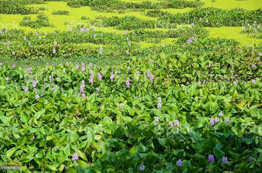 Water Hyacinth stock photo