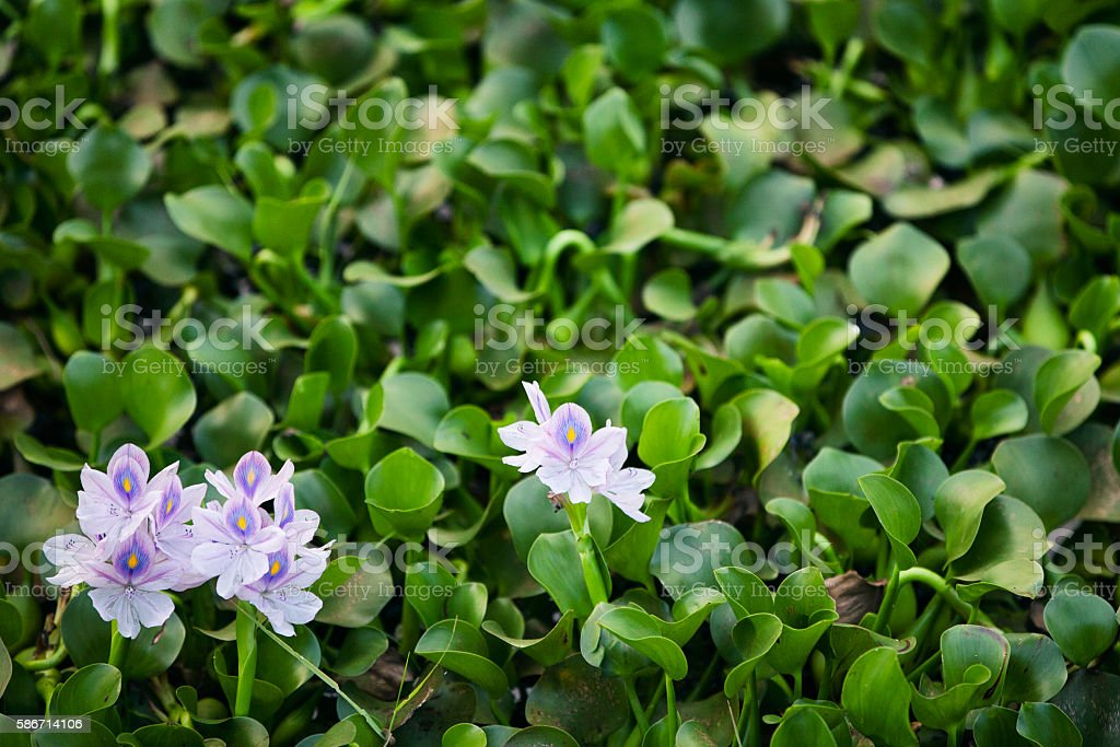 Water Hyacinth stock photo