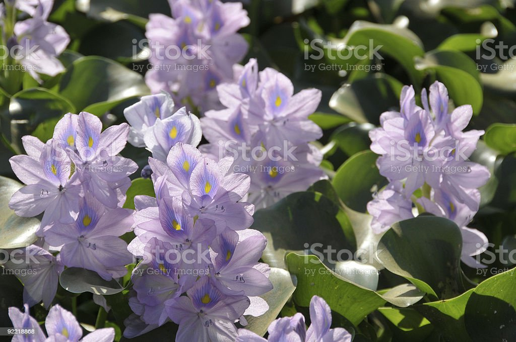 Water hyacinth royalty-free stock photo